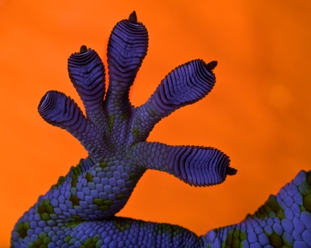 Die feinen Haarstrukturen am Geckofuß ermöglichen rasches Haften bzw. Ablösen (Quelle: Uwe Bellhäuser)