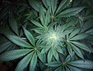 Trump & Hanf – So ändert sich die Cannabis-Politik in den USA
