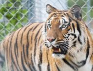 Hamburg: Auch Tiger müssen zum Zahnarzt