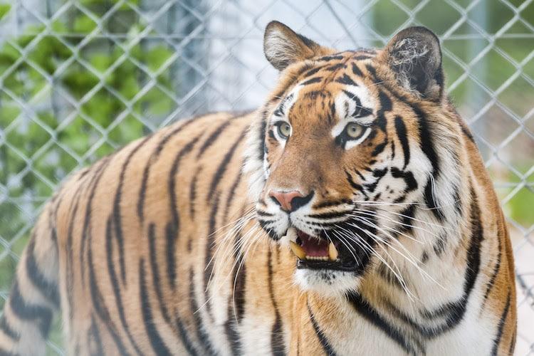 Photo of Hamburg: Auch Tiger müssen zum Zahnarzt