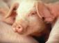 Afrikanische Schweinepest in Europa