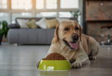 Hanföl für den Hund. Viele Menschen haben die Vorteile von CBD Produkten für ihr Haustier entdeckt.